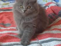 Pisici british shorhair