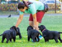 Pui Labrador Retriever negri si ciocolatii cu Pedegree A