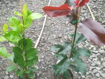 Prunus Laur Englezesc și Photinia red