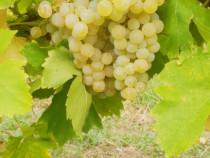 Struguri vin Ottonel Cabernet Sauvignon Blanc Merlot