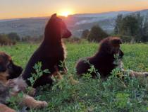 Cățelușe ciobanesc german