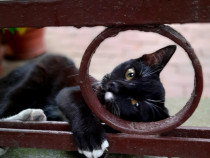Pui pisica motan neghinita