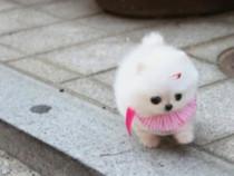Pomeranian Alb Bej Auriu ! Catelusi de calitate 100%