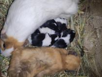 Porcușori de guineea