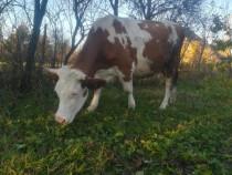 Vaca de 2 ani, gestantă in 9 luni