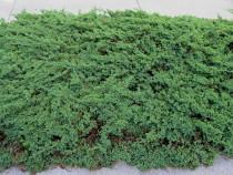Juniperus horizontalis 'Prince of Walles' - ienupar tarator