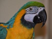 Papagal Ara
