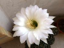 Cactusi,pui sau adulti plantati in vas sau nu,si ramburs