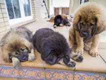 Catei Mastiff de Tibet