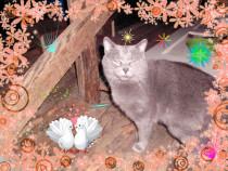 Pisicute albastru de rusia
