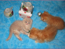 Pisici Scottish Fold Bucuresti ,Iasi,Oradea,Brasov Galati tm