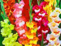 Gladiole bulbi mix