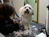 Curs Frizer Canin Autorizat Targu Mures