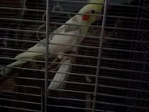 Papagal nimfă