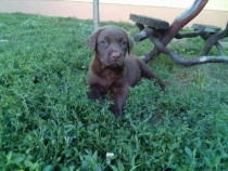 Labrador negru si ciocolatiu!!