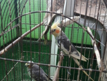 Papagali nimfe