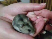 Hamsteri pitici asiatici