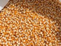 Porumb pentru floricele (popcorn) ecologic,natural din 2020