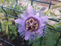 Set 10 butași Passiflora - Floarea Pasiunii Fructul Pasiunii