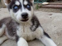 Căței Husky Siberian