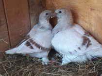 Porumbei voiajor standard