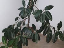 Ficus si trandafir japonez