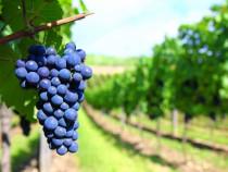 Societate SRL oferim servicii domeniul viticol / viticultură