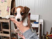 Puiuti de jack russell terrier jack russel terier