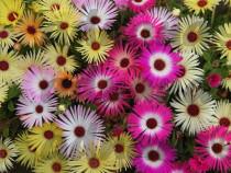 1600 Seminte Floarea de cristal -Dorotheanthus bellidiformis