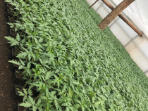 Răsaduri legume - roșii, ardei, castraveți și altele