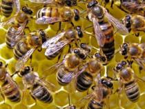Familii de albine si miere de la producator