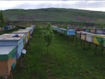 Familii albine