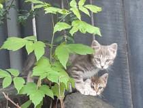 Donez pisicuțe sănătoase, vârsta 2 luni