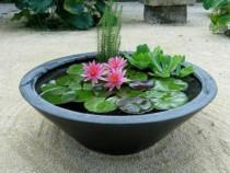 Pui flori lotus diverse culori - floare nufar plante rare