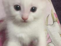 Pisici Persan cu Angora turceasca.
