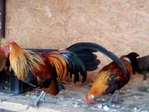 Cocoșei phoenix