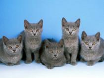 Pisici British shorthair rasă pură