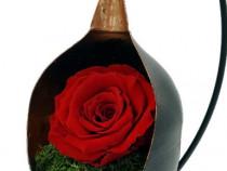 Trandafir Criogenat Wide Flowers pe pat de muschi in fotoliu