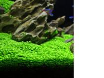 Plante acvariu - seminte