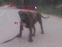 Pui mascul femela Dogo Presa Canario Giurgiu pedigree