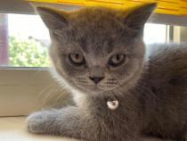 Pisicuță British Shorthair gri
