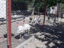 Curcani tineri de carne,albi .Găini rasă suoer-grea