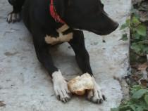 Caut monta Dog german