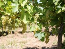 Struguri de vin calitate superioara: feteasca regala si alba