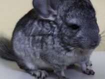 Pui Chinchilla - animal de companie