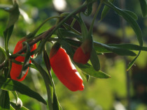 Goji seminte si plante