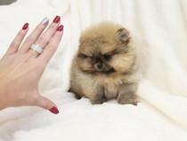 Pomeranian Ursuleț Teddy Bear toy
