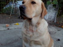 Pui Labrador Golden Retriever varietatea aurie