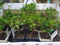 Bonsai specii diferite promotie