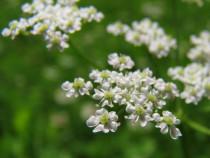 1000 Seminte Anason - Pimpinella anisum